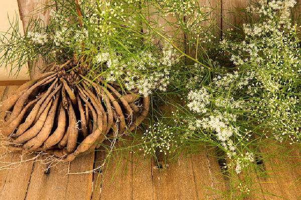 Shatavari gyökerei és a gyógynövény virágai.