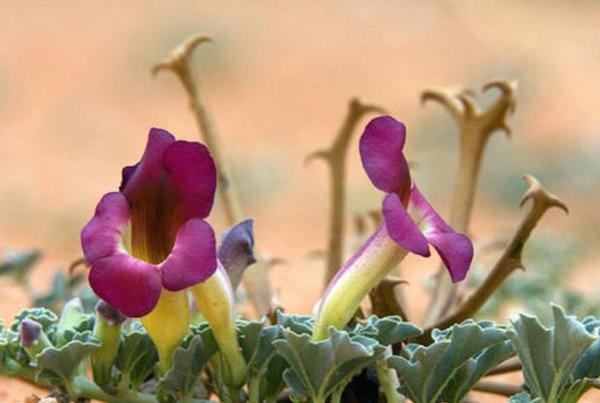 Ördögkarom, Harpagophytum procumbens.