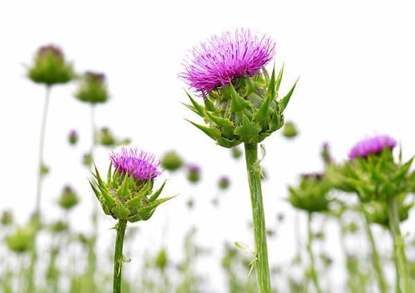 Máriatövis lila virága makrofotón.