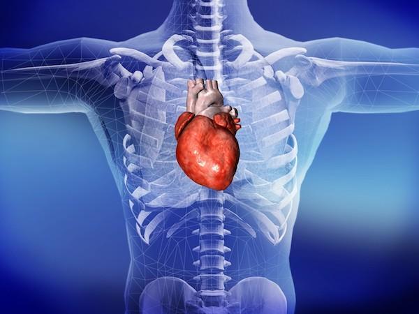 Szív kiemelve az emberi testnél.