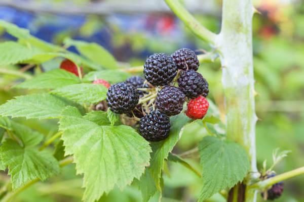 Fekete málna (Rubus occidentalis).