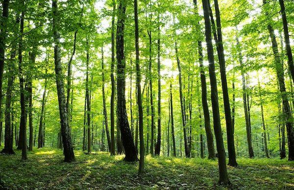 Nyári sűrű erdei erdő.