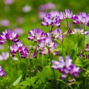 Adaptogén gyógynövények I.