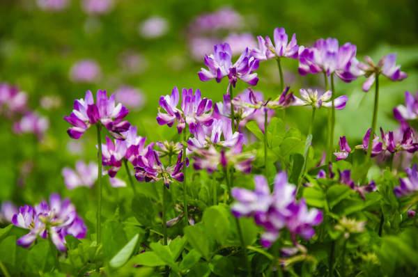 Astragalus lila virágai.