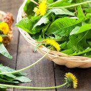 A pitypang fiatal hajtásai és levelei is egészségesek