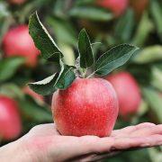 Az alma sok betegségtől megóvhat bennünket