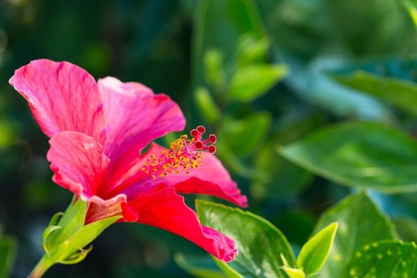 Kinyílt piros hibiszkusvirág háttérben zöld levelekkel.