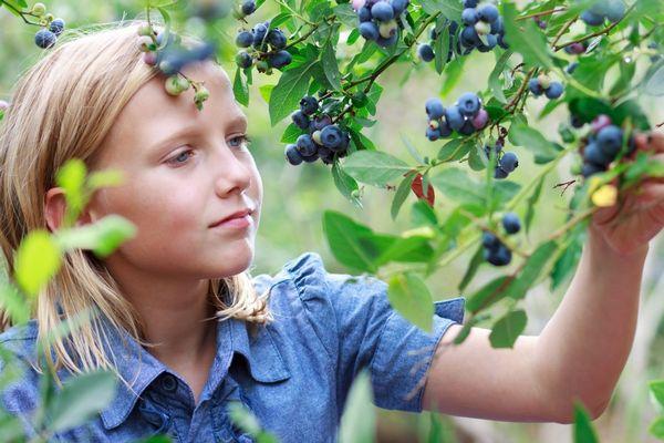 Egy erdőben egy szőke hajú kislány fekete áfonyát szed.
