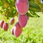 Gyógyszer nélküli hashajtó: mangó