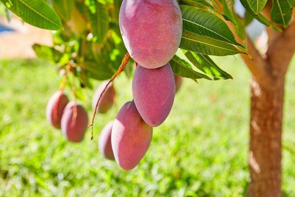 Egy mangófa, tele mangókkal.