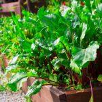 Még a cékla levelei is egészségesek