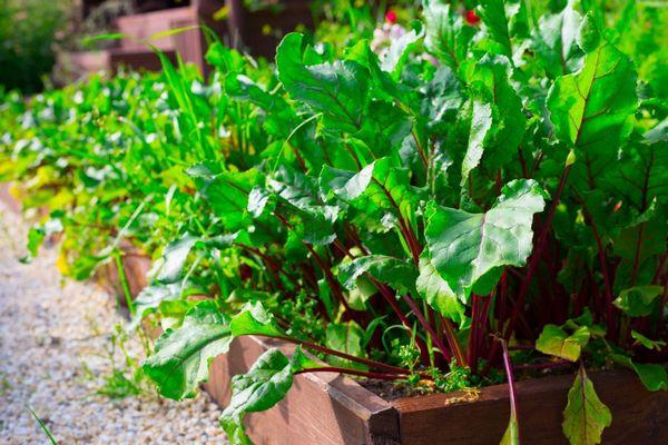 Egy növényágyásban céklaültetvény sok céklalevéllel.