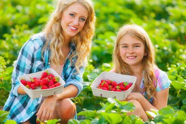 Eperszüretben egy anyuka és a kislánya epret szed, kezükben kis kosárban eper.