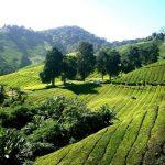 A zöld tea tele van antioxidánssal, fogyasszuk rendszeresen!