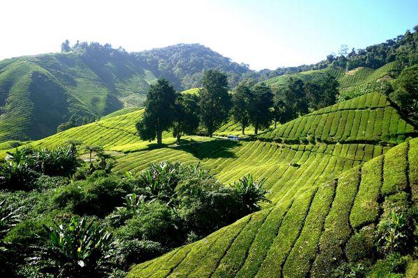 Egy dombos vidéken zöld tea ültetvény, zöld tea bokrok.