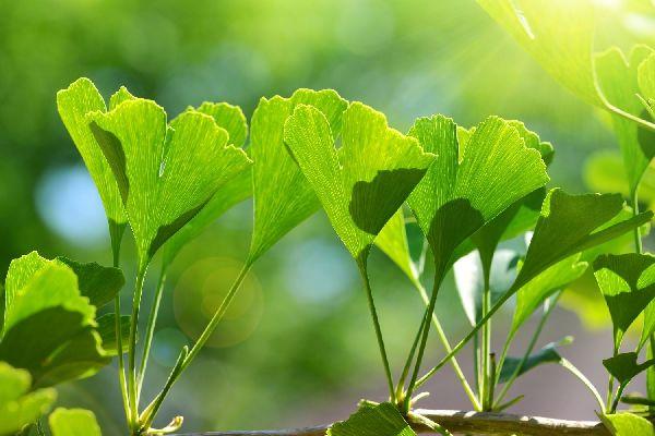 Ginkgo biloba levelek napsütésben.